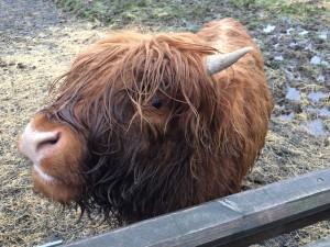 Skotsk høylandsfe kalv
