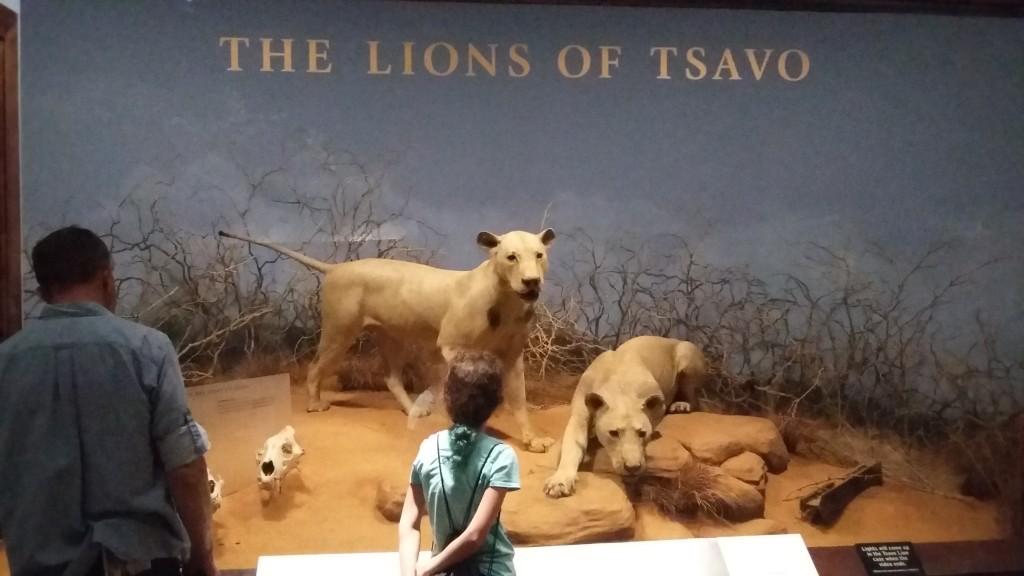 """""""The Lions of Tsavo"""" finner du også på Field Museum. I 1898 terroriserte de britisk jernbanearbeider i Øst-Afrika. Historien har også inspirert deler av Jan Guillous """"Brobyggerne""""."""